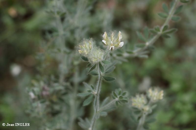 Identification fleurs du Var 17_80d46
