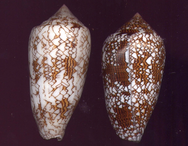 Conus (Cylinder) archiepiscopus verriculum   Reeve, 1843 - Page 4 Image110