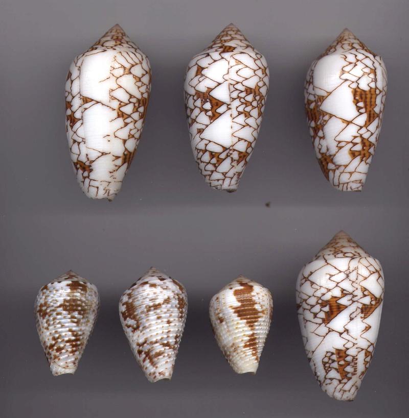 Conus (Cylinder) archiepiscopus verriculum   Reeve, 1843 - Page 4 Image210