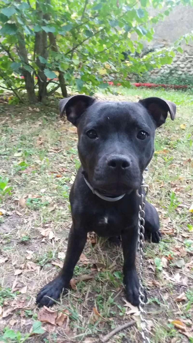 Le Staffordshire Bull Terrier : le staffie - Page 5 20170816