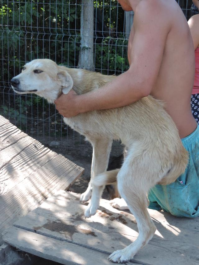ANKO mâle, couleur crème, né en sept 2016 (chiot d'AKELA) - Famille trouvée par Lenuta dans un champ - parrainé par Mirko78 -R-SC-SOS Anko10