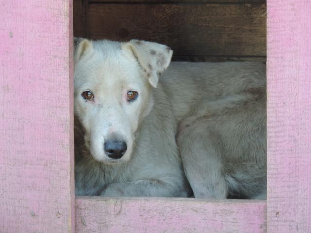 DULCE - Magnifique femelle Blanche - née en 2009 - Parrainée par Samie -SOS-FB-R-SC-  - Page 3 Dulce_11