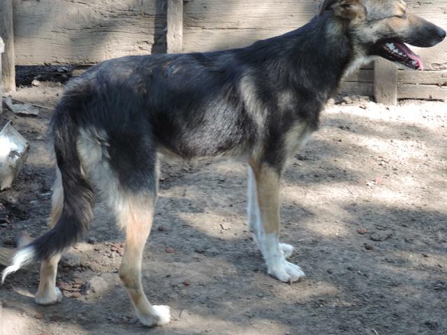 FLAVIA, femelle, couleur charbonnée, née en sept 2016 (chiot d'AKELA) - Famille sauvée par Lenuta dans un champ- PARRAINEE PAR NATHALIE GAMBLIN R-SOS- Flavia12