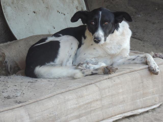 GAYA- femelle noire et blanche née en 2013- parrainée par Skara - SC-SOS-R- - Page 3 Gaya10