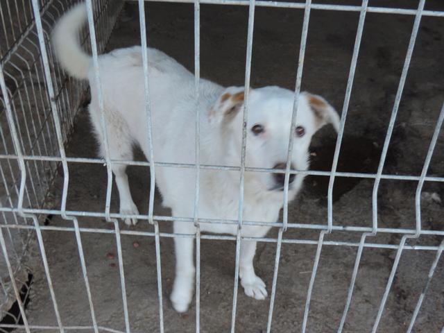 TILGA - x labrador blanc 8 ans   (4 ans de refuge) - Asso Arche d'Eternité - Lenuta (Roumanie)  Tilga10