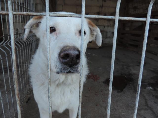 TILGA - x labrador blanc 8 ans   (4 ans de refuge) - Asso Arche d'Eternité - Lenuta (Roumanie)  Tilga_10