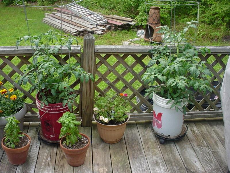 tomato plant tip Dsc04336