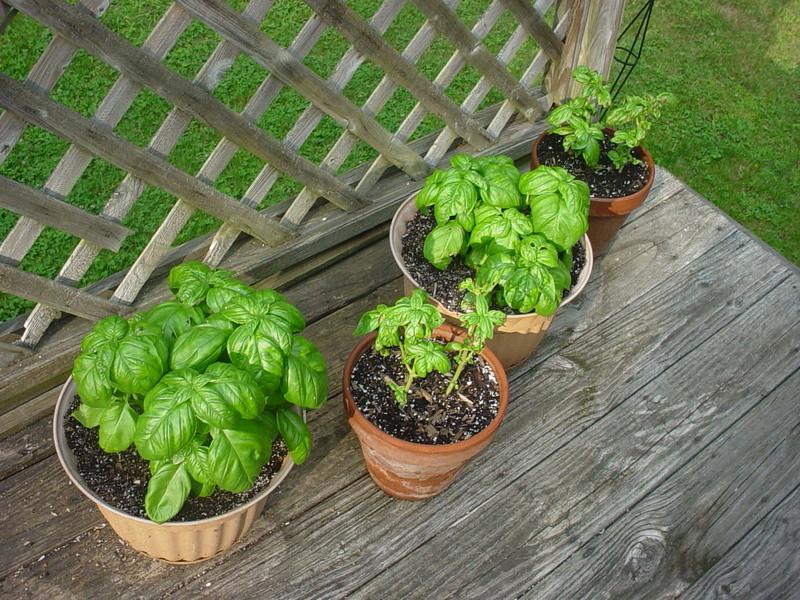 tomato plant tip Dsc04461