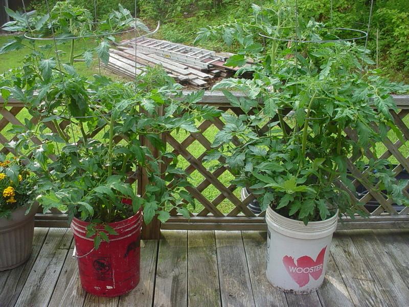 tomato plant tip Dsc04510