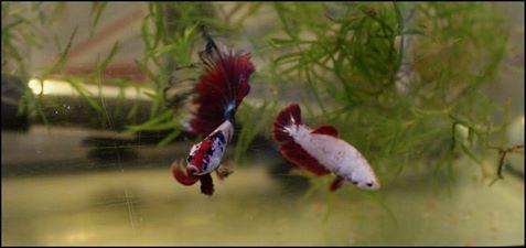 Male VL multi + femelle vl hm red dragon  20245710