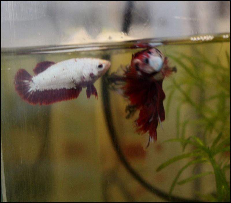 Male VL multi + femelle vl hm red dragon  Photo_15