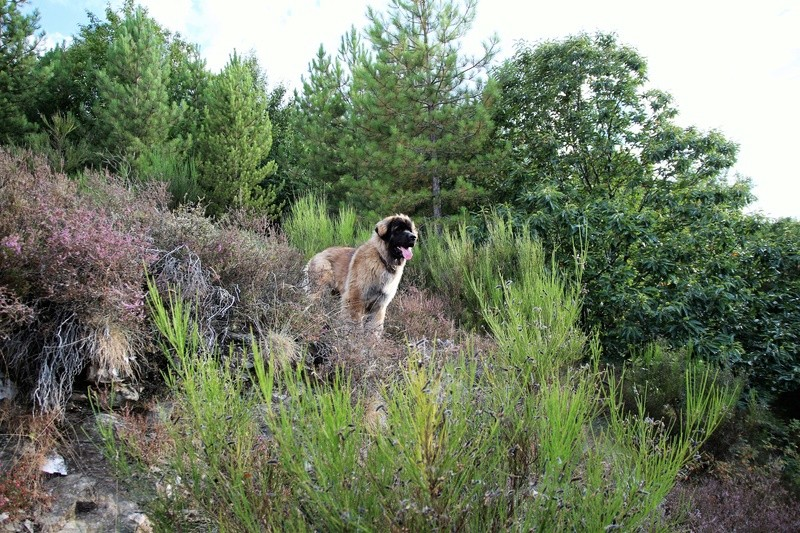 Ico, berger allemand et Misca, leonberg. - Page 8 Img_1613
