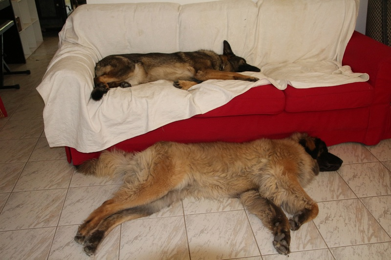 Ico, berger allemand et Misca, leonberg. - Page 8 Img_1713