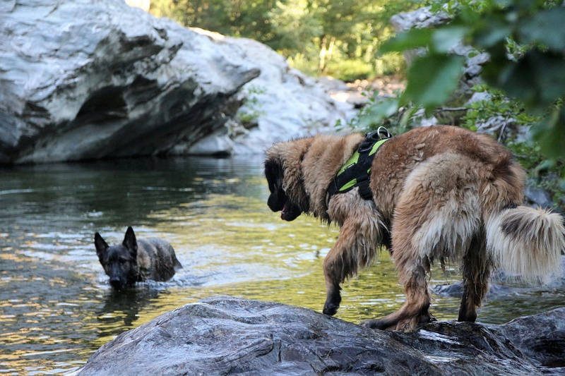 Ico, berger allemand et Misca, leonberg. - Page 8 Img_1813