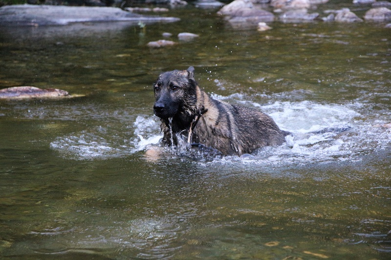 Ico, berger allemand et Misca, leonberg. - Page 8 Img_2016