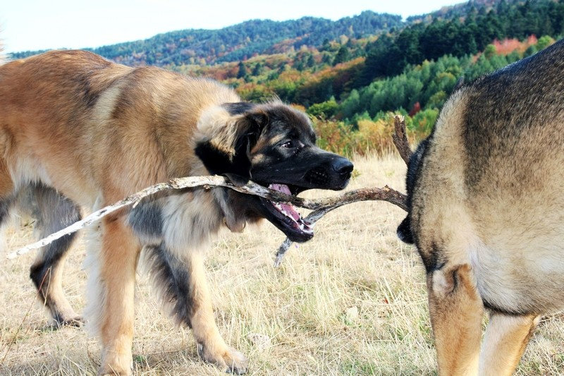 Ico, berger allemand et Misca, leonberg. - Page 8 Img_2512