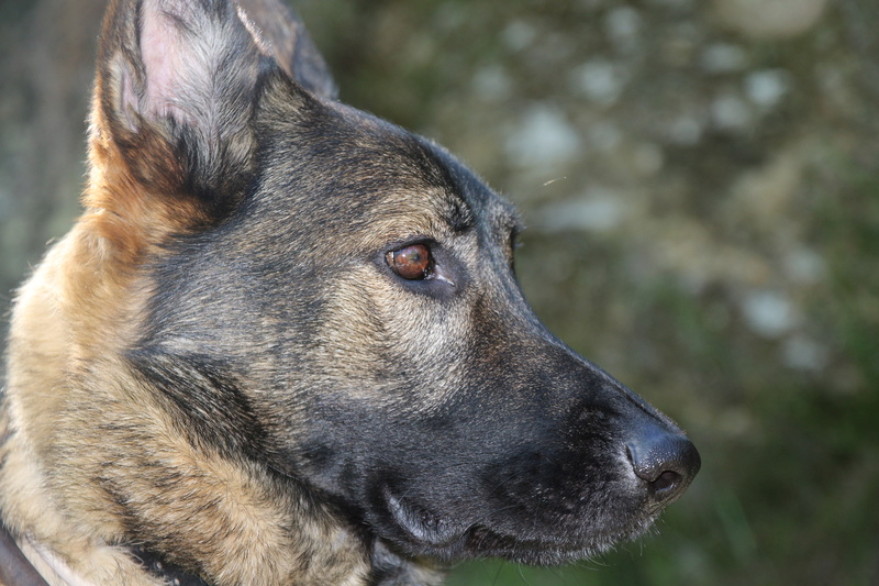 Ico, berger allemand et Misca, leonberg. - Page 8 Img_7912