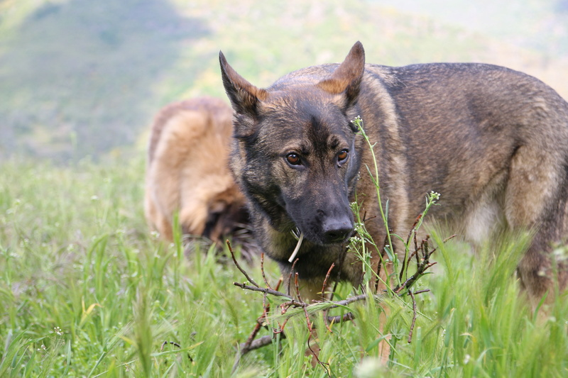 Ico, berger allemand et Misca, leonberg. - Page 8 Img_8911