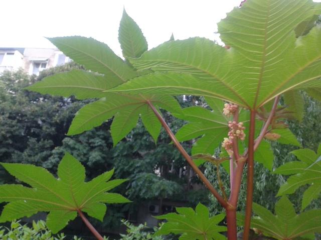 Planter du  ricin ( ricinus communis ) 20170810