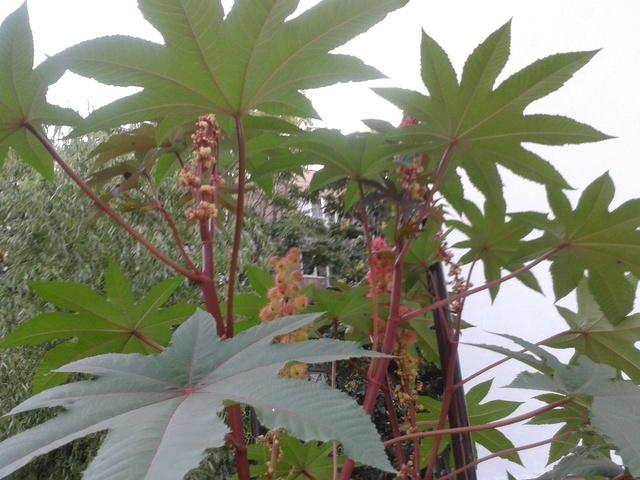Planter du  ricin ( ricinus communis ) 20170811