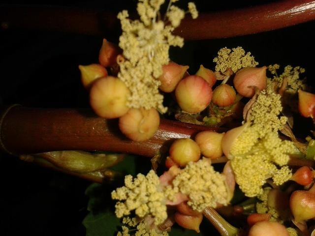 Planter du  ricin ( ricinus communis ) 20170812