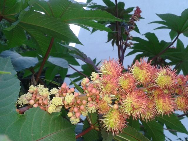 Planter du  ricin ( ricinus communis ) Florai10