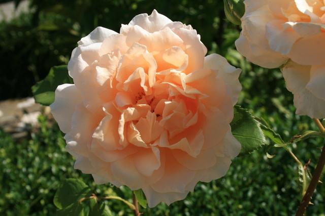 le royaume des rosiers...Vive la Rose ! - Page 14 Img_2210