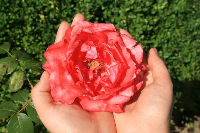 le royaume des rosiers...Vive la Rose ! - Page 14 Img_2211