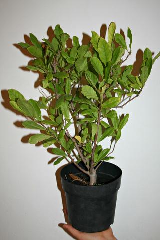 Magnolias - Page 15 Magnol10