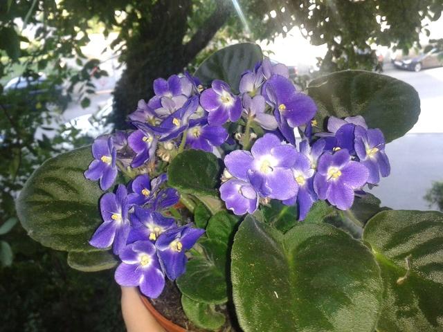 Les violettes africaines / violettes du cap(Saint Paulia). Entretien, espèces, des photos. Violet12
