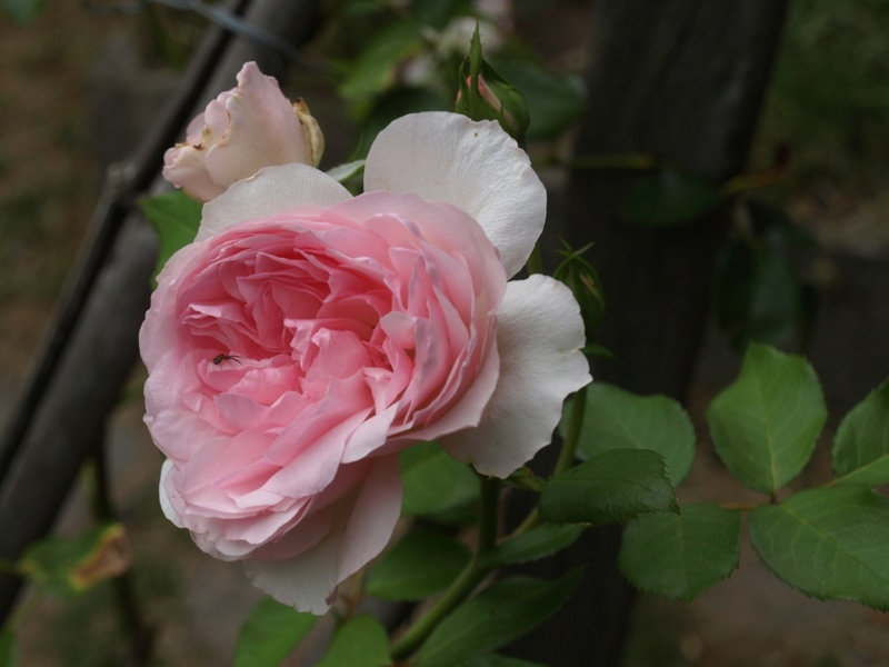 Roseraie du Chatelet (Sauvageot  2000 ) Rosera10