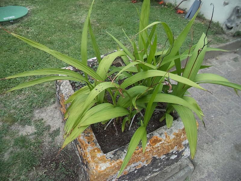Bletilla striata - orchidée du Japon - Page 4 Dsc02113