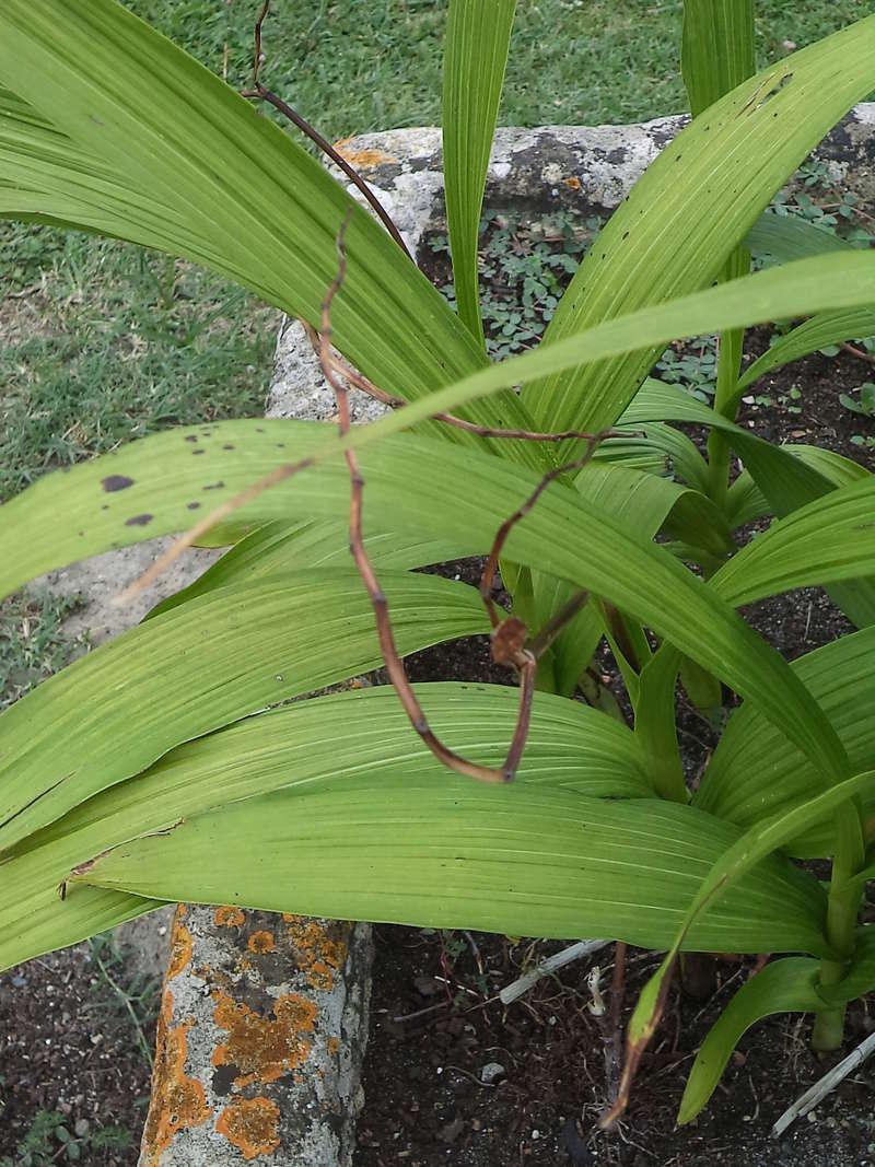 Bletilla striata - orchidée du Japon - Page 4 Dsc02114