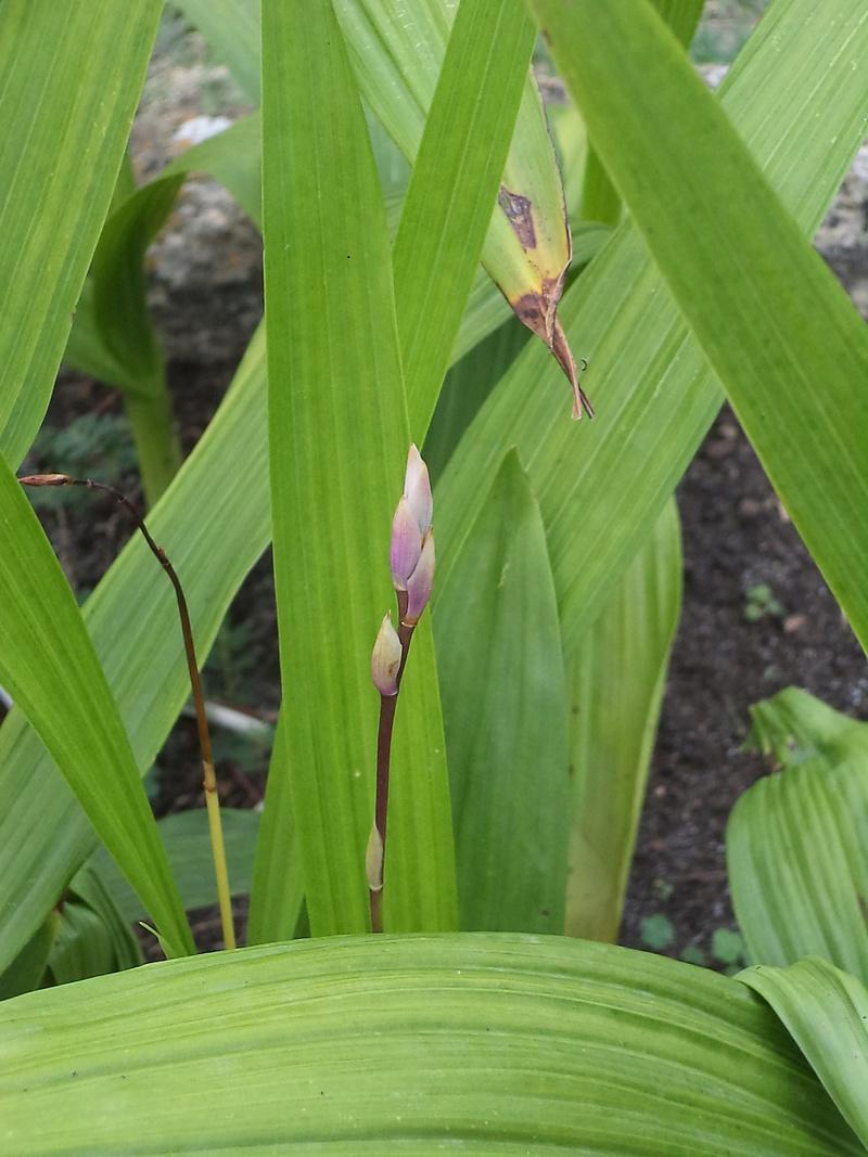 Bletilla striata - orchidée du Japon - Page 4 Dsc02116