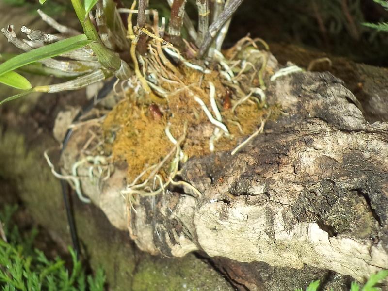 Dendrobium moniliforme Dsc02148