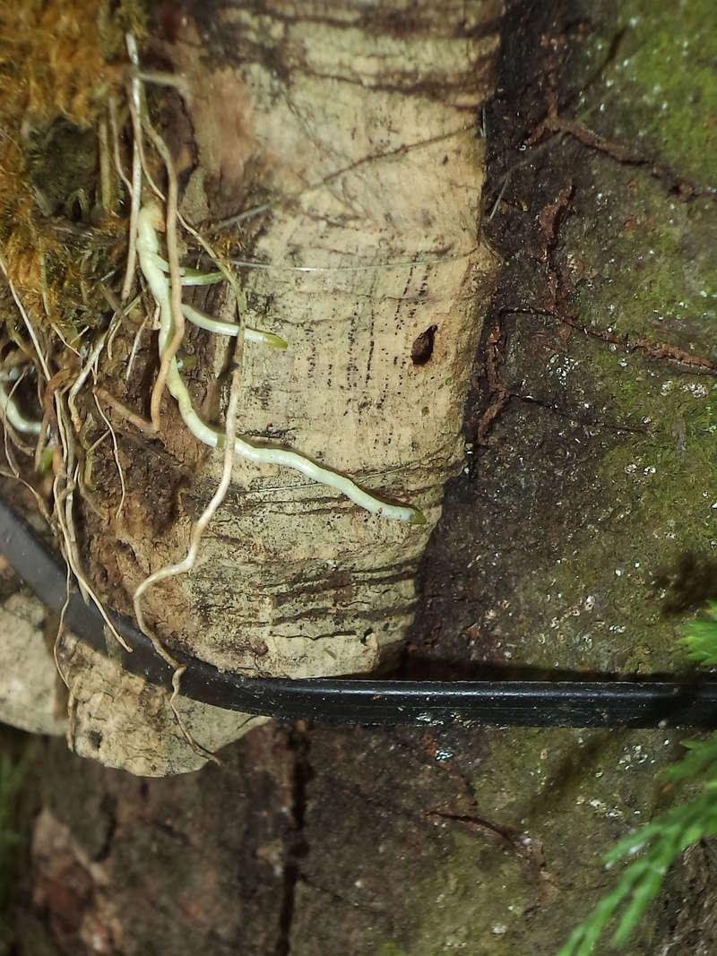 Dendrobium moniliforme Dsc02149