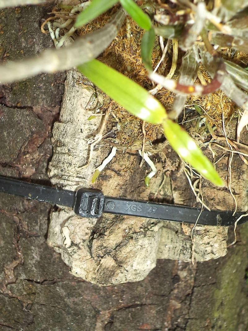 Dendrobium moniliforme Dsc02150