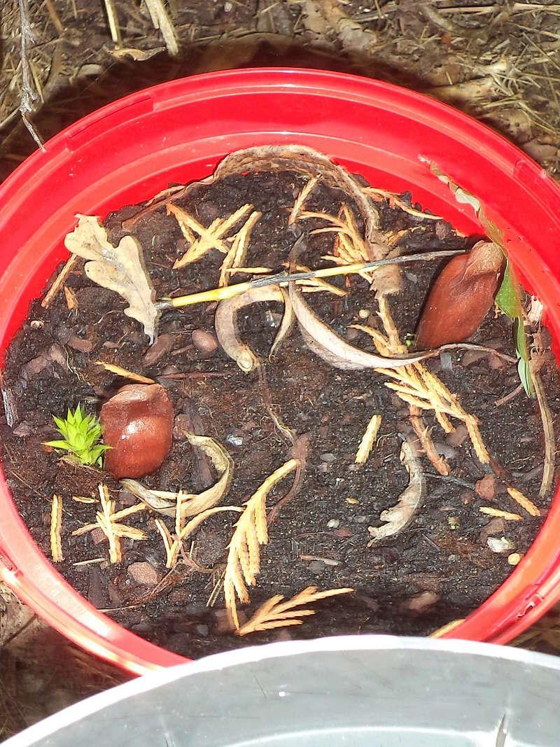Araucaria araucana - désespoir du singe - Page 3 Dsc02151