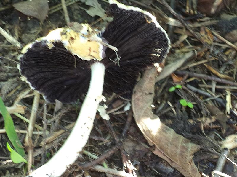 couverture(s) et champignon(s) Dsc02153