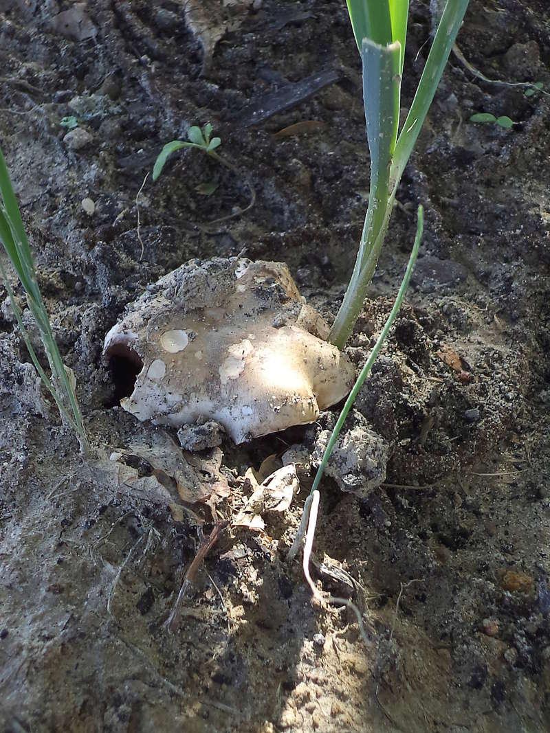 couverture(s) et champignon(s) Dsc02212