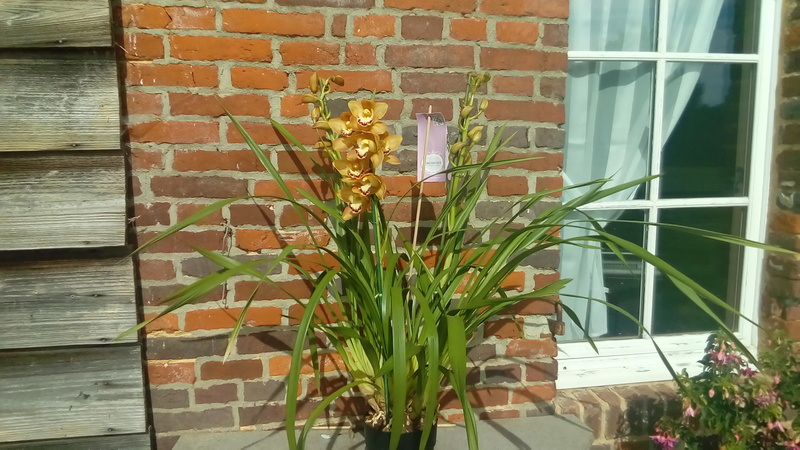 Culture Cymbidium, qui connait? P_201710