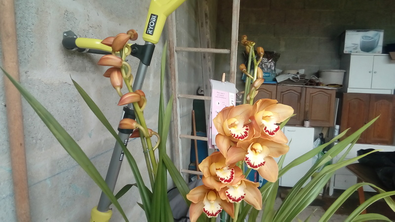 Culture Cymbidium, qui connait? P_201711