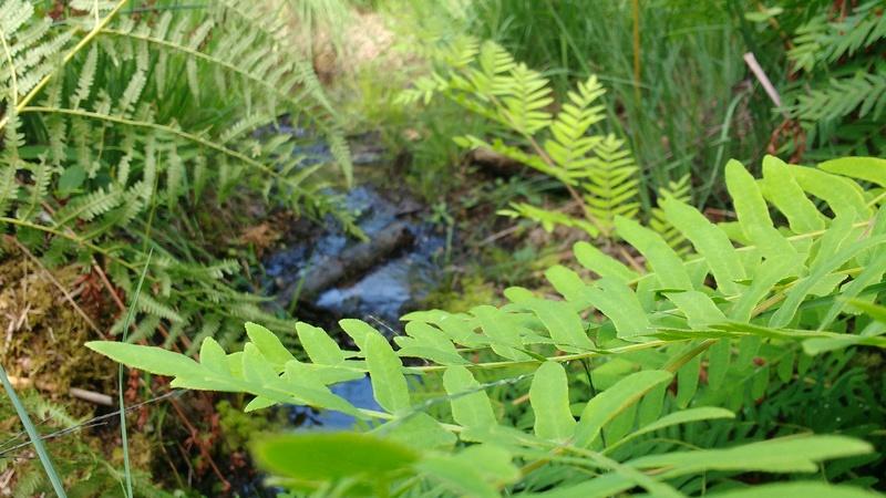 Le plaisir des Drosera sauvages (presque) dans son jardin ! Img_2030