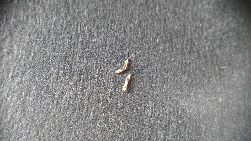 Parasites sur Drosera madagascariensis? Img_2034