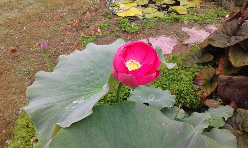 Nelumbo nucifera et horticoles - lotus sacré - Page 3 20170730