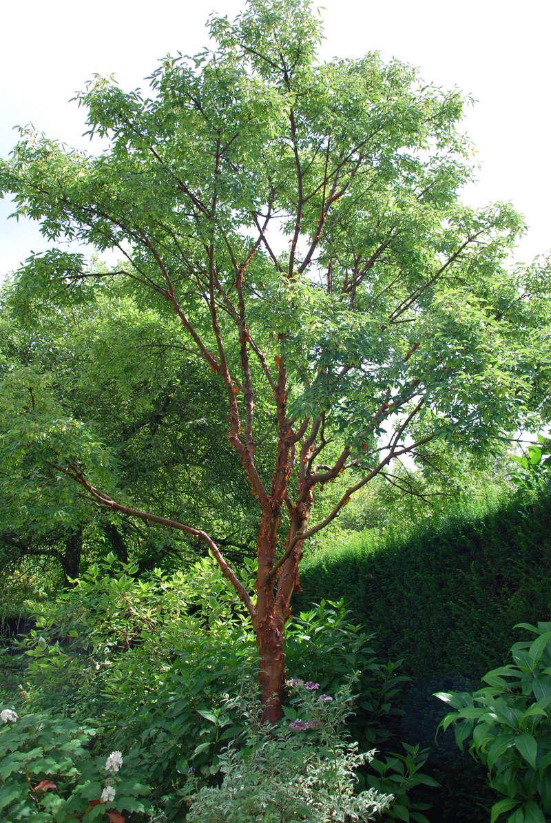 Acer griseum Dsc_1613