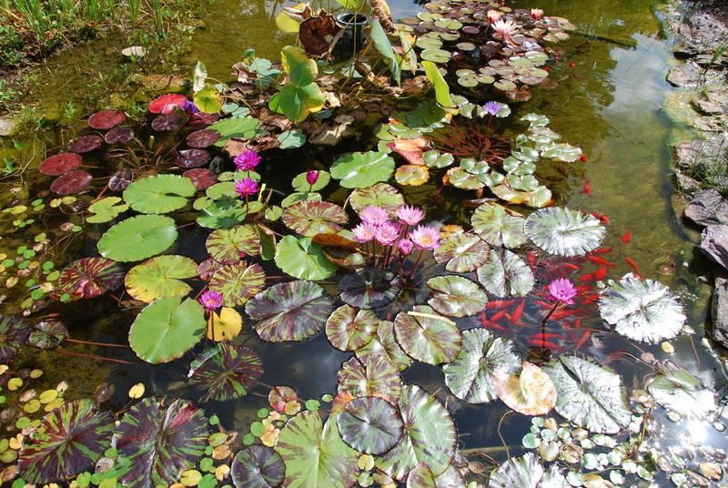 nagol - Jardin d'aquatiques Dsc_1714