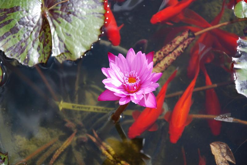 nagol - Jardin d'aquatiques Dsc_1715