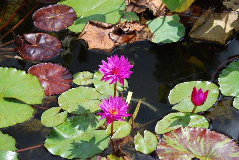 nagol - Jardin d'aquatiques Dsc_1717
