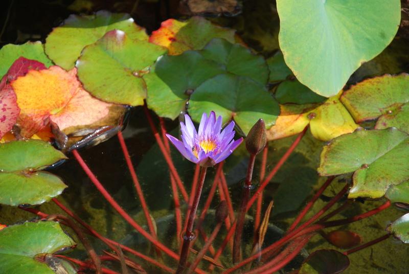 nagol - Jardin d'aquatiques Dsc_1719